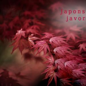 Japonské javory
