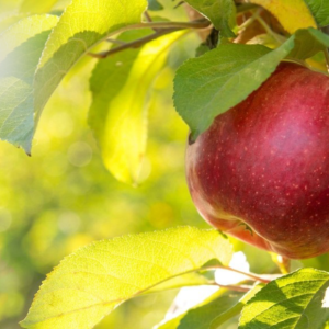 Ovocné stromky